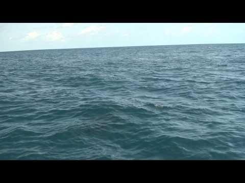Playful Pilot Whales
