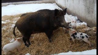 Дикая свинья родила в снегу.