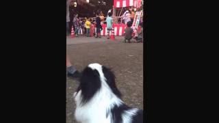近所の盆踊り大会の会場に、狆の蘭ちゃんを連れて行きました。「炭坑節...