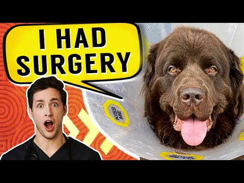 Bear Had Surgery | Gentle Giant Newfie Puppy