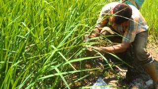 Management of leaf folder in paddy