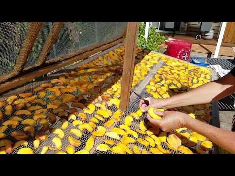 Food Preservation - solar food; drying peaches with the sun