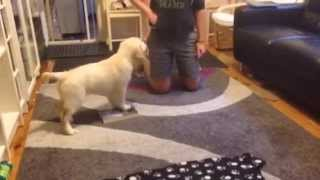 Smartest Golden Retriever Puppy Doing Obedience Training (clicker Training)
