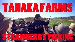 Strawberry Picking at Tanaka Farms, Irvine, CA - A Great Place to Take Kids
