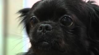 Утренний эфир / Приют для бездомных животных: черный пекинес