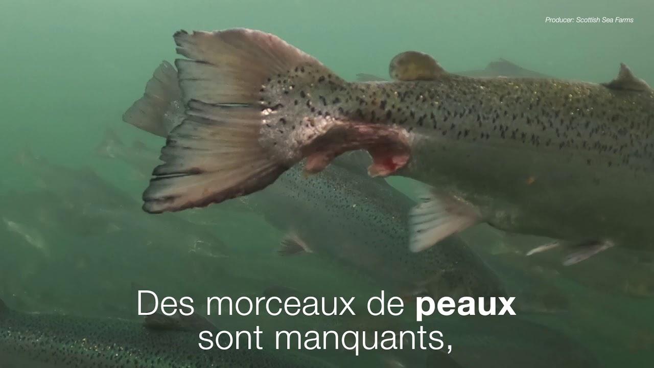 Enquête sur l'élevage des saumons en Ecosse.