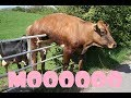 Cows Being Funny Compilation COWS ARE AWESOME