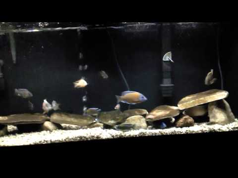 All male african cichlid peacock and hap tank