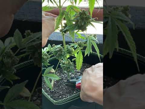 How to cut marijuana plant at base
