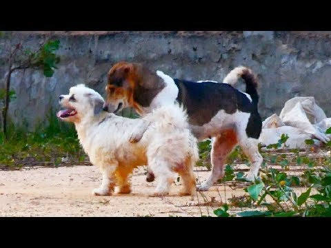 RuralDogs!! Golden Retriever Vs Old English Sheepdog in Khnar Thmey Village