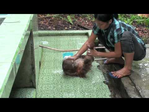 Crying baby orangutan Budi receives loving care after ...