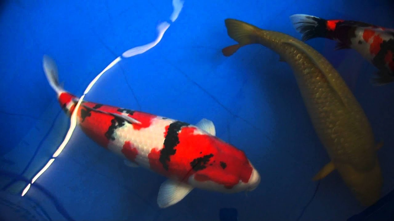 Grand champion interkoi 2013 european koi show sanke youtube for Champion koi fish
