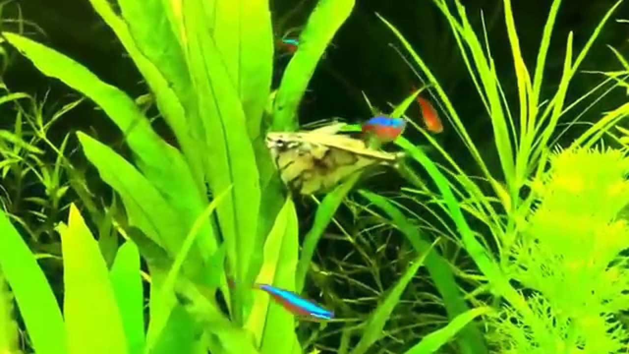 Download Marmorierter Beilbauch Marbled hatchetfish Carnegiella strigata