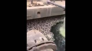 مزرعه أسماك فى مياه الصرف الصحي مصر