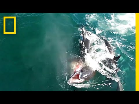 Watch: Orcas Hunt A Whale In Rare Video | National Geographic