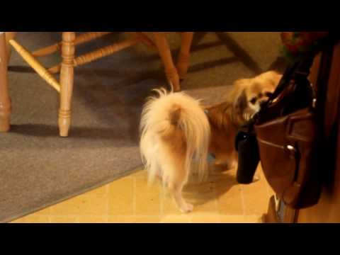 alarm call of a Tibetan Spaniel