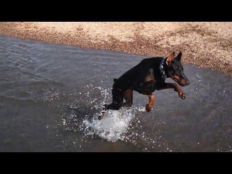 Doberman Pinscher jumps and falls