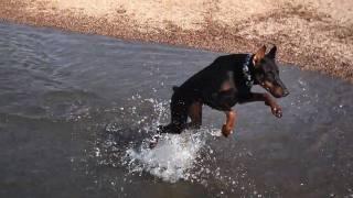 Doberman Pinscher Jumps And Falls