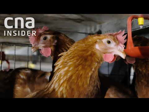 They Work On A High-Tech Egg Farm In Singapore