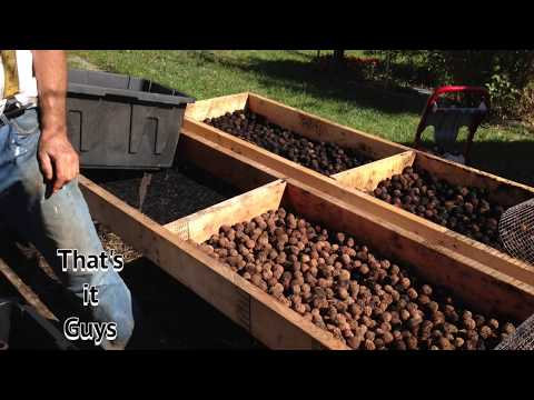 BLACK WALNUTS - part 2- How to Clean Black Walnuts BETTER !!!