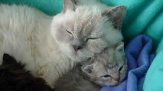 Fair and Square  Selkirk Rex  Tutti's cuties 3+weeks old