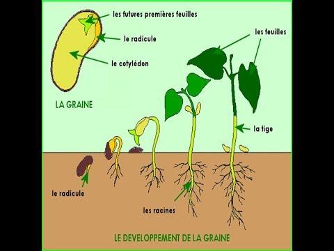Croissance et développement des plantes : partie 1 - YouTube