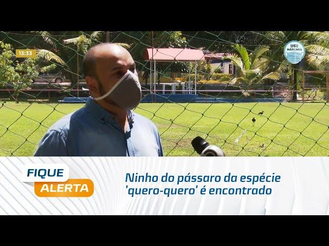 Ninho do pássaro da espécie 'quero-quero' é encontrado em campo de futebol do Sesc Guaxuma