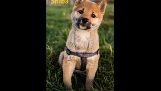 The Queen of Shiba (Or What Day is It?) Post-New Year Vlog