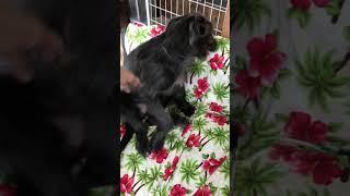 子犬 アイリッシュウルフハウンド メス ブラック.
