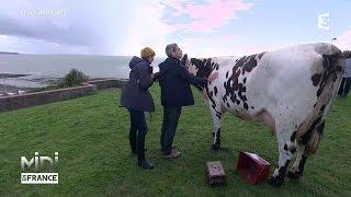 ANIMAUX & NATURE : La Normande, une vache laitière d'excellence
