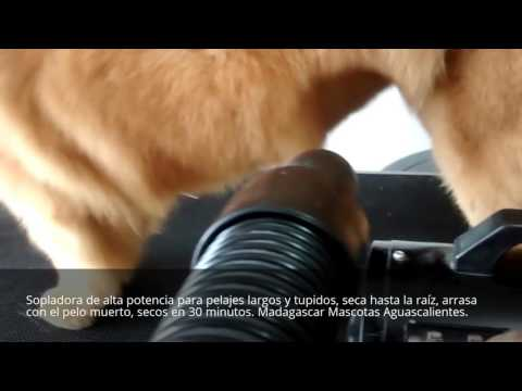 Secadora de alto poder 8hp. Madagascar Mascotas Ags