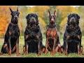 DOG BREED Best BANNED Fastest Dog Breed [Mr Fahey]