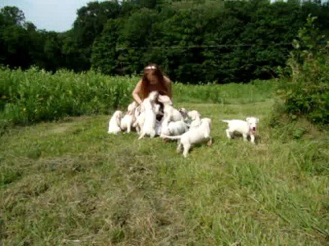 Dogo Argentino , Dogo Argentino breeders