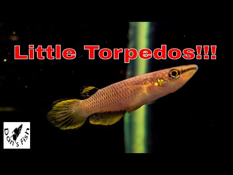 Aplocheilus Panchax Orange...Great Surface Dwelling Killifish