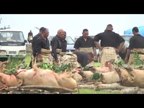 Pangai Lahi preparations for the Royal Taumafa Kava Ceremony - Livestream from the Kingdom of Tonga