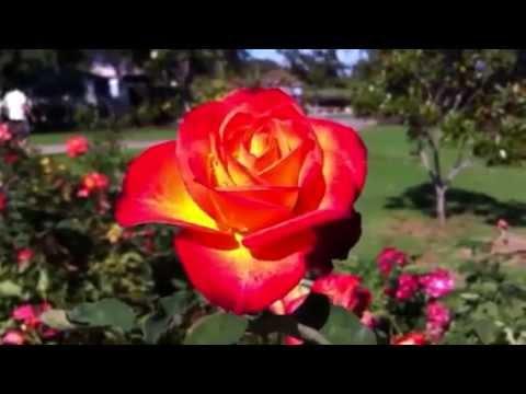 Las 3 rosas mas bellas del mundo youtube - Rosas rosas hermosas ...
