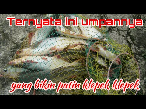 Umpan Ikan Patin (Part - 1)
