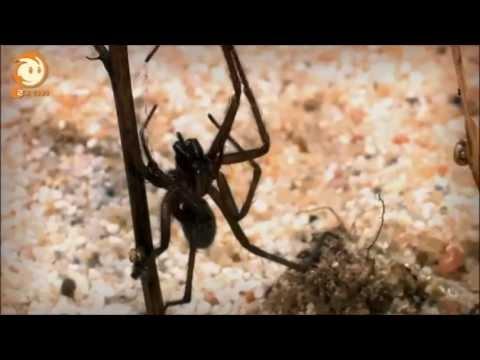 Löwenzahn - 262 62 Spinne - Leben am seidenen Faden