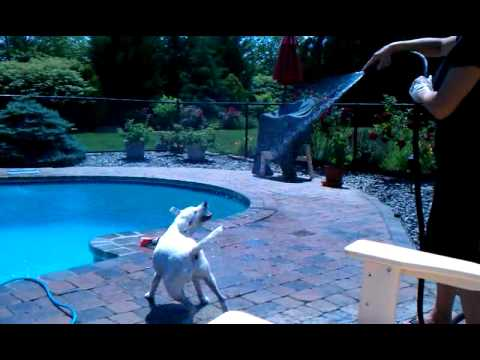 Sonny the Jack Russell Terrier attacks the hose