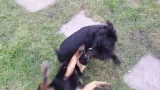 Cute Puppies Playing / Play Fighting Miniature Schnauzer And Black Jack Russell
