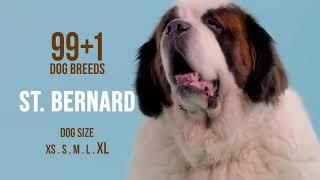 Saint Bernard / 99+1 Dog Breeds