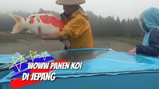 Panen Ikan Koi Negeri Sakura | Ikan Koi Di Jepang
