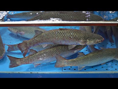 Korean Fish Market - Cutting Live Yellow Mullet | Yellow Mullet Sashimi