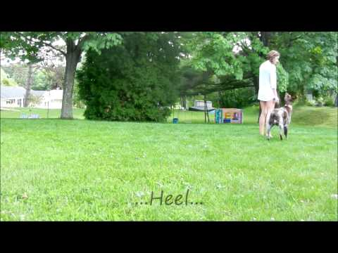 German Shorthaired Pointer Obedience Play