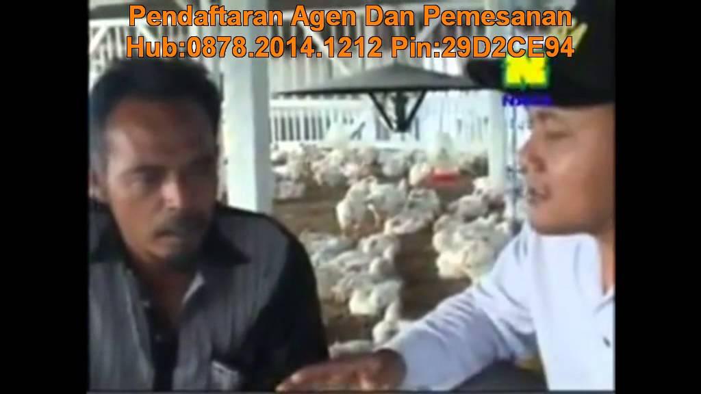 Cara Beternak Ayam Broiler - YouTube