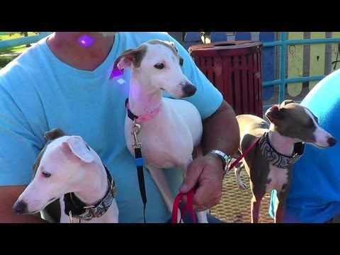 Italian greyhounds go to the Skate and Dog Park
