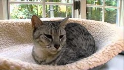Cats 101 Animal Planet - Egyptian Mau ** High Quality **