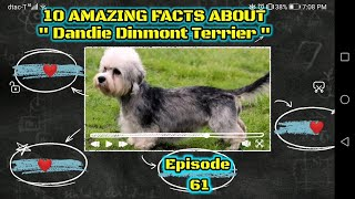 Top 10 cool facts about Dandie Dinmont Terrier.