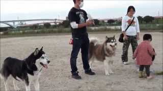 グランド整備 孫達が普段シベリアンハスキー犬達が遊んで居る野球グラン...