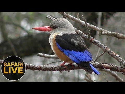 safariLIVE - Sunrise Safari - October 18, 2018
